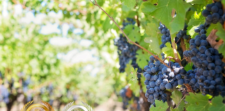 Romano Vineyard and Winery Business News Japan